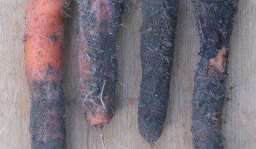 Фомоз моркови, lagrandeborne.com