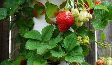 Урожай клубники из трубы, 4.bp.blogspot.com