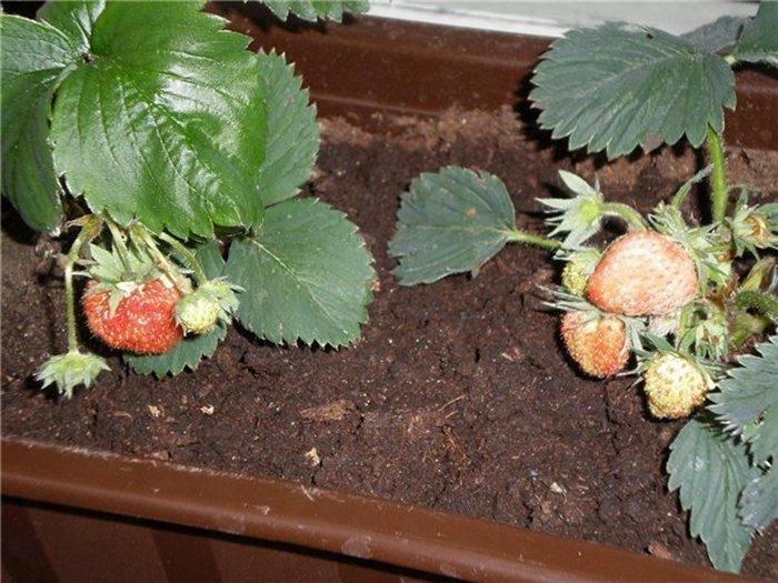 Круглогодичное выращивание клубники на балконе, obalkonah.ru.