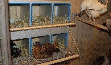 Гнезда для кур, caucasianlegend.com
