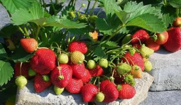 Секреты выращивания ремонтантной клубники