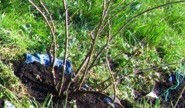 Обрезанный молодой куст смородины