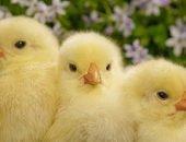 Цыплята на лугу, mgdtv.com