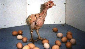Больная курица, sarcofagia.it