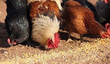 Петух и курицы едят кукурузу, upload.wikimedia.org
