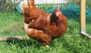 Курица на выгуле, agroprim.com