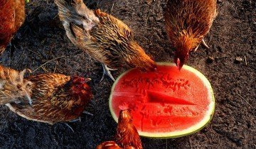 Курицы едят арбуз, daypic.ru