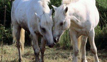 Две белые лошади, 4put.ru