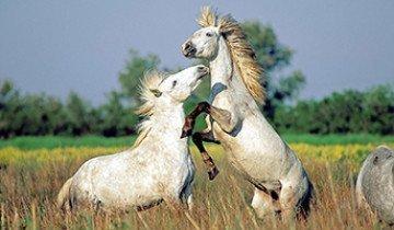 Спаривание лошадей как главный аспект эффективного коневодства