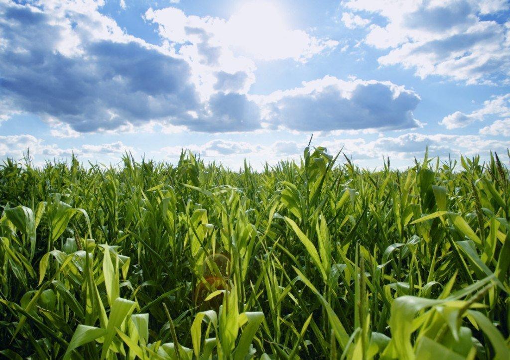 Как сажают кукурузу в поле 516