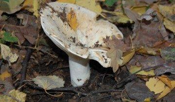 На фото гриб чернушка, ucoz.ru