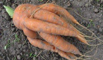 Фотография моркови с наростами, floraprice.ru