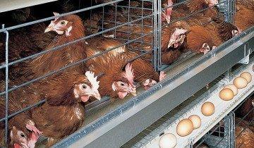 Фото выкатывающихся из клетки яиц, bigdutchman.de