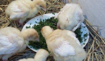 Зелень в рационе кормления бройлеров, blogspot.com