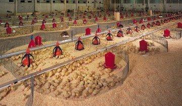 Процесс откорма бройлеров на птицеферме, bigdutchman.de