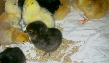 Процесс кормления цыплят бройлеров, atmagro.ru