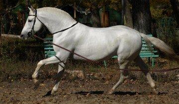 Соловая орловская лошадь, westernhorse.ru