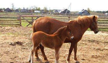 Лошадь породы Мезенка, ucoz.ua