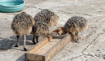 Процесс кормления страусят пшеницей, yandex.ru