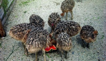 Маленькие страусята едят арбуз, derevnyaonline.ru