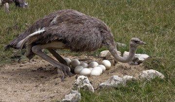 Самка страуса высиживает яйца, ianimal.ru