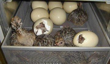 Страусята вылупливаются из яиц, web4market.biz