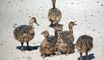 Изображение маленьких страусят, foto.ua