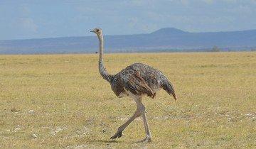 На фото страус в естественной среде, wordpress.com