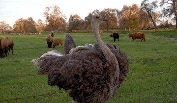 Изображение страуса на выгуле, reliableanswers.com