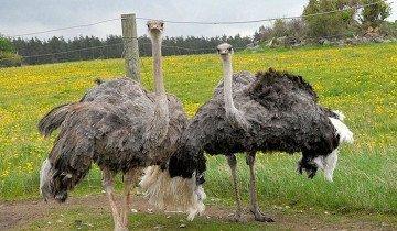 Фотография африканского страуса, animalworld.com.ua