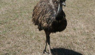 Изображение австралийского страуса Эму, gold-fazan.com.ua