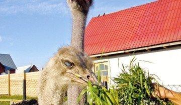 Кормление страуса зеленью, belokuriha-foto.ru