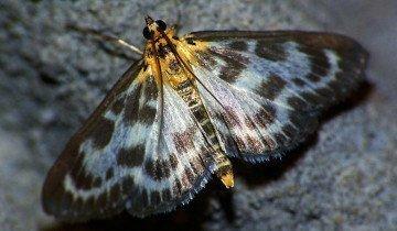 Фотография бабочки огневки, mir-nasekomyh.ru