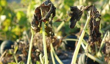 Изображение листьев, пораженных мучнистой росой, blogspot.com
