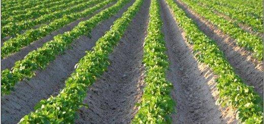 Выращивания картофеля по