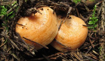 Где в лесу искать рыжик и как отличить его от других съдобных и несъедобных грибов