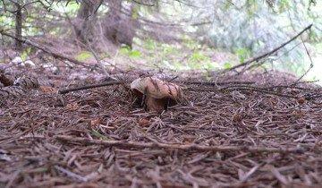 Фото елового рыжика в хвойном лесу, club.foto.ru