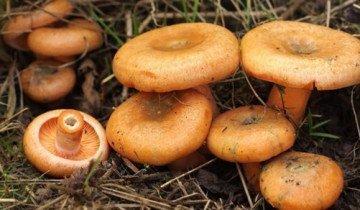 На фото семейство грибов рыжиков, uralgrib.ru