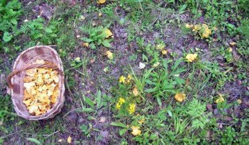 Рыжики, растущие на мелколесье, okafish.ru