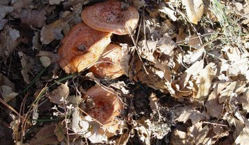 Фотография рыжиков в лиственном лесу, krim2.ru