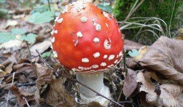 Изображение мухомора в хвойном лесу, gdefon.com