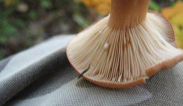 Фото капель млечного сока на грибе, ykoctpa.ru