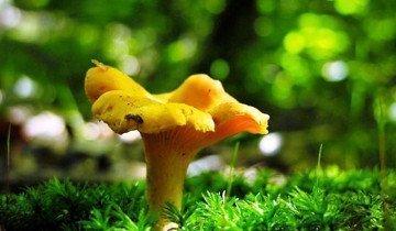 На фото гриб лисичка, griba.ru