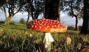 Фотография мухомора на солнечной полянке, eriding.net