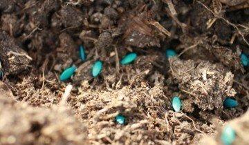 Посадка семян огурца, обработанных марганцовкой, fb.ru