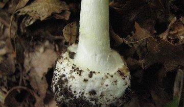 Фотография ножки шишкообразного мухомора, narod.ru