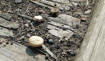 Фото грибов растущих у дороги, goloyuhov.ru