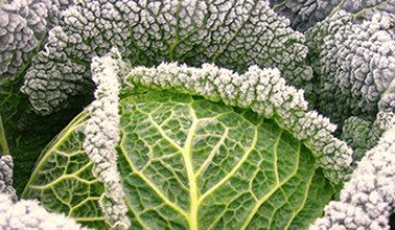 Чем полезна савойская капуста и каковы особенности ее выращивания