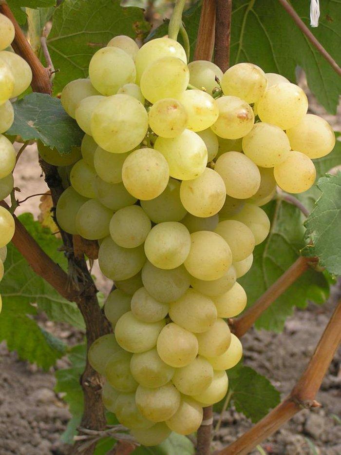 Виноград по алфавиту