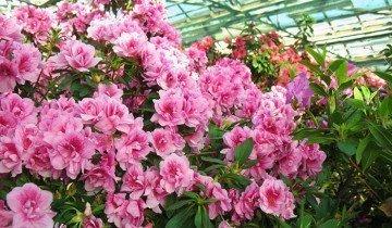 Цветущая азалия в зимнем саду, bdom.by